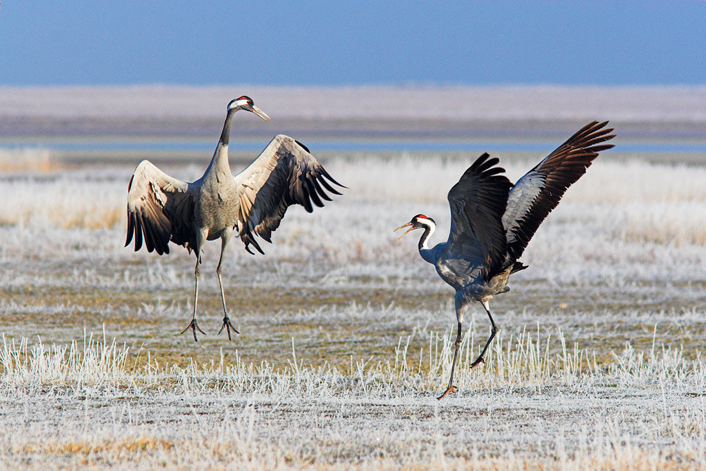 Photograph Cranes dance by Javier Abad on 500px