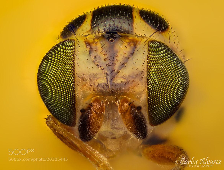 Photograph Chloropidae by Carlos Álvarez on 500px