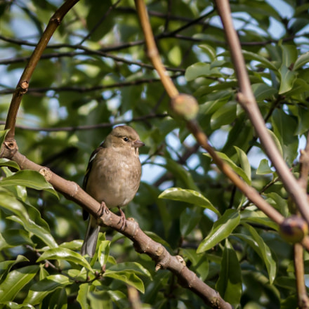Female Chaffinch, Canon EOS 70D