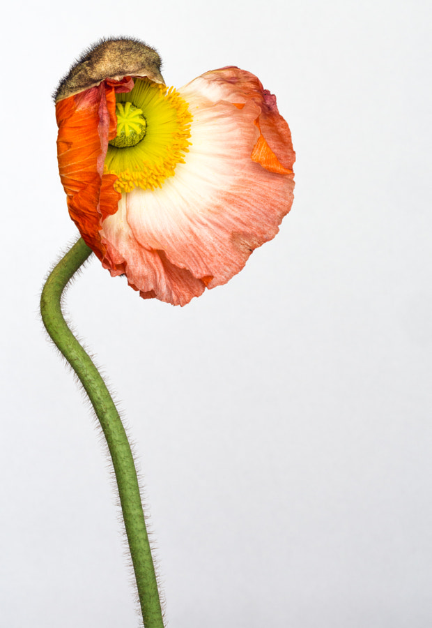 Poppy love by Alan Shapiro on 500px.com
