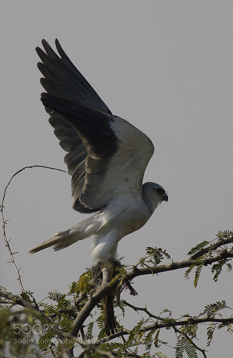 Photograph Meal is ready - Black Shouldered Kite by Pankaj Ratna on 500px