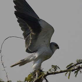 Meal is ready - Black Shouldered Kite by Pankaj Ratna (PRatna)) on 500px.com