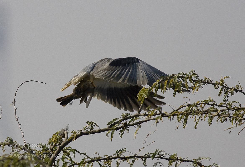 Photograph Grey Steel of Death - Black Shouldered Kite by Pankaj Ratna on 500px