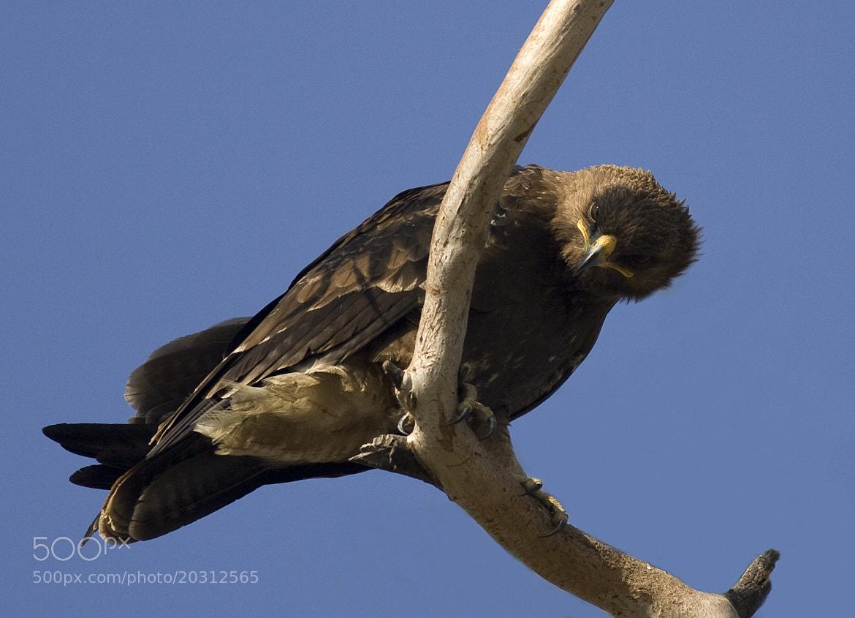 Photograph Steppe Eagle - Taken by surprise by Pankaj Ratna on 500px