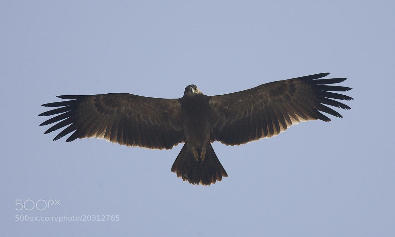 Photograph Steppe Eagle by Pankaj Ratna on 500px