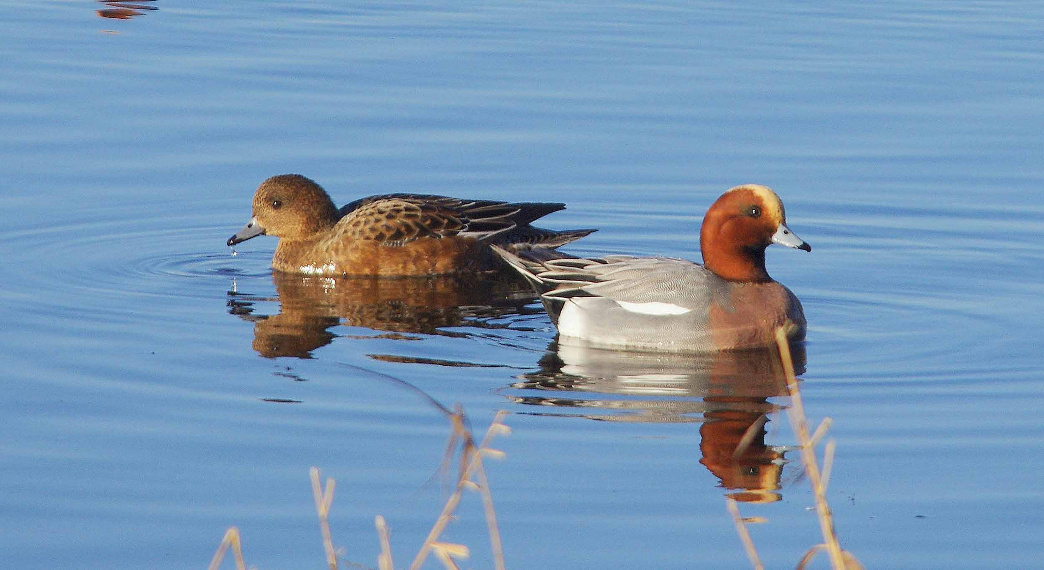 Photograph Wigeon by Bob Brewer on 500px
