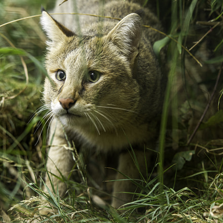 Jungle Cat Series, Nikon D5, AF-S Nikkor 200mm f/2G ED VR II