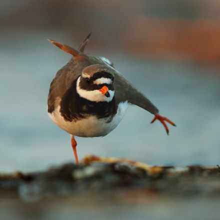 Little ringed Plover, Canon EOS 7D MARK II, Canon EF 500mm f/4L IS II USM