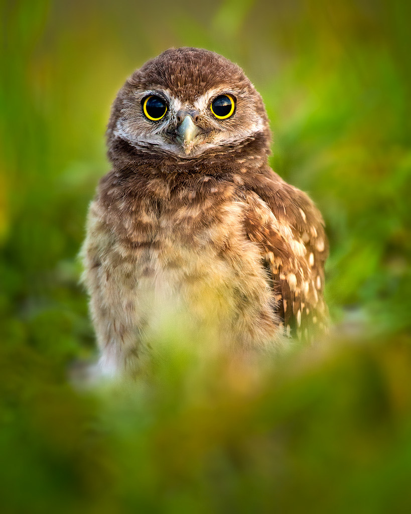 Photograph Owlet Peeking Through The Grass by Steve Perry on 500px