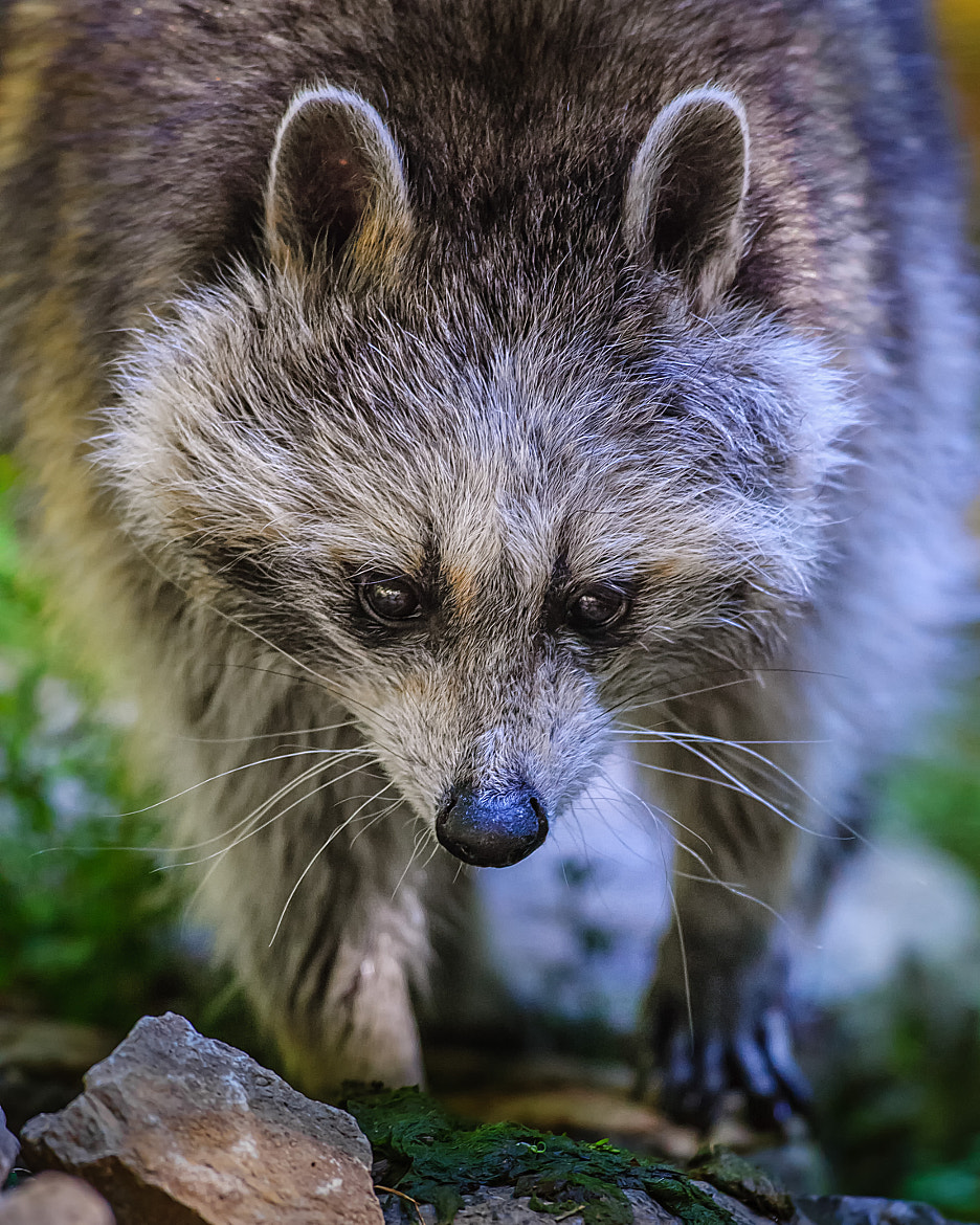Photograph Racoon by Stefan Betz on 500px