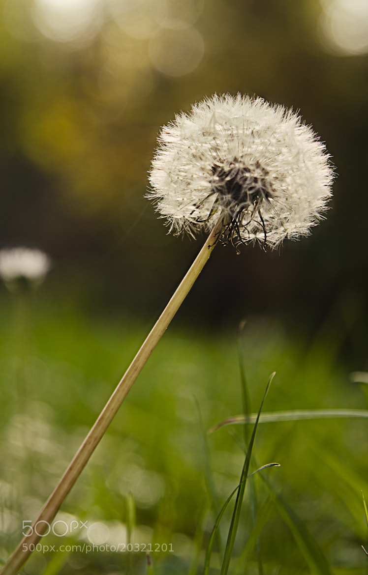 Photograph Lone Dandelion by Omar Bariffi on 500px