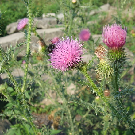 Thistle with bee.JPG, Fujifilm FinePix S5200