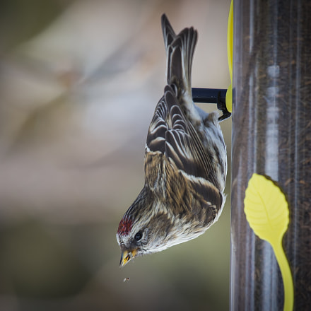Common Redpoll, Canon EOS-1D X, Canon EF 100-400mm f/4.5-5.6L IS