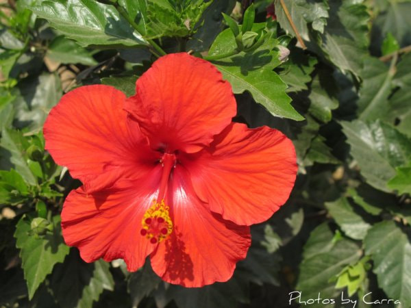 Photograph Hibiscus by Carra Riley on 500px