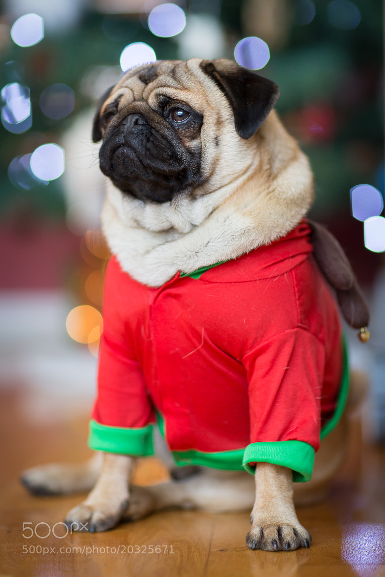 Photograph Percy the Pug by Richie Hatch on 500px
