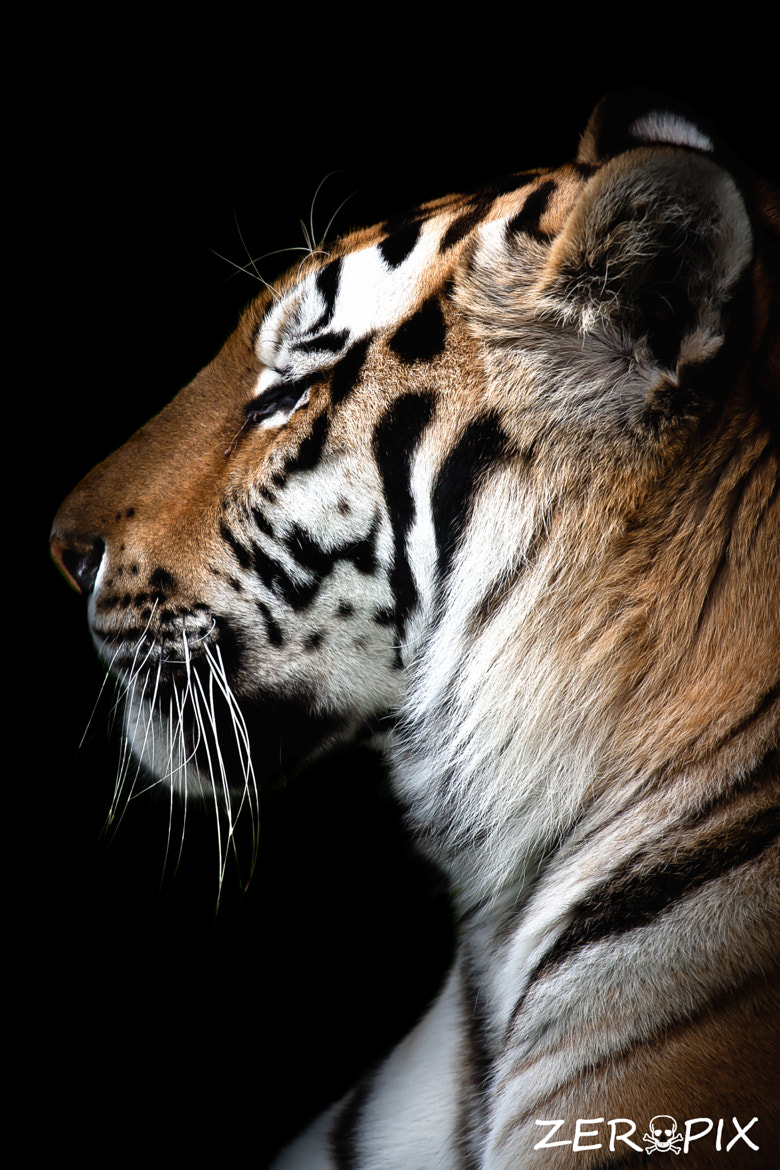 Photograph Tiger by ZeroPix Photography on 500px