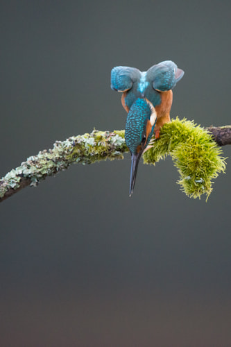 Photograph Kingfisher (Alcedo Atthis) by Seb Loram on 500px