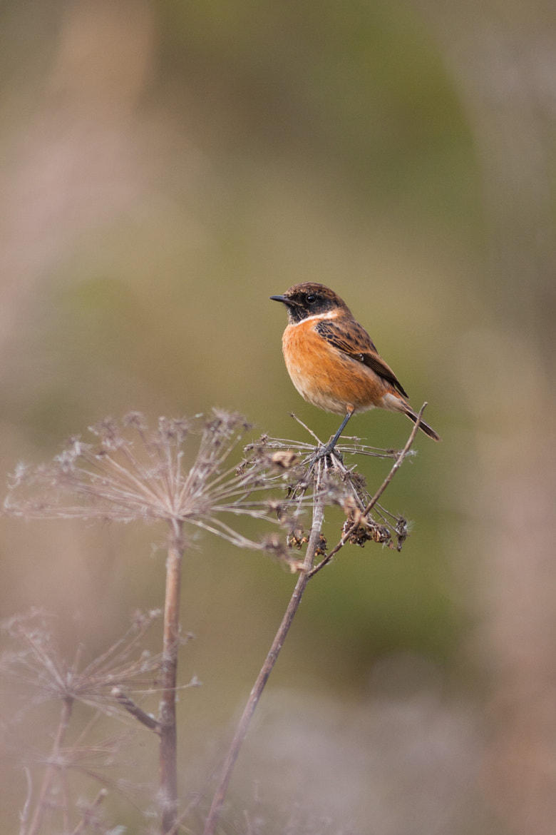 Photograph Stonechat by Max Brown on 500px
