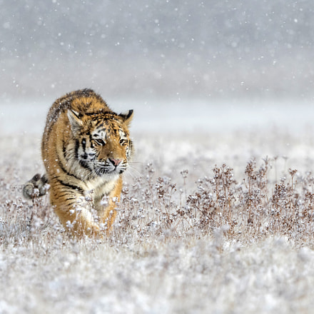 Walking through the snow, Canon EOS 7D MARK II, Canon EF 200-400mm f/4L IS USM