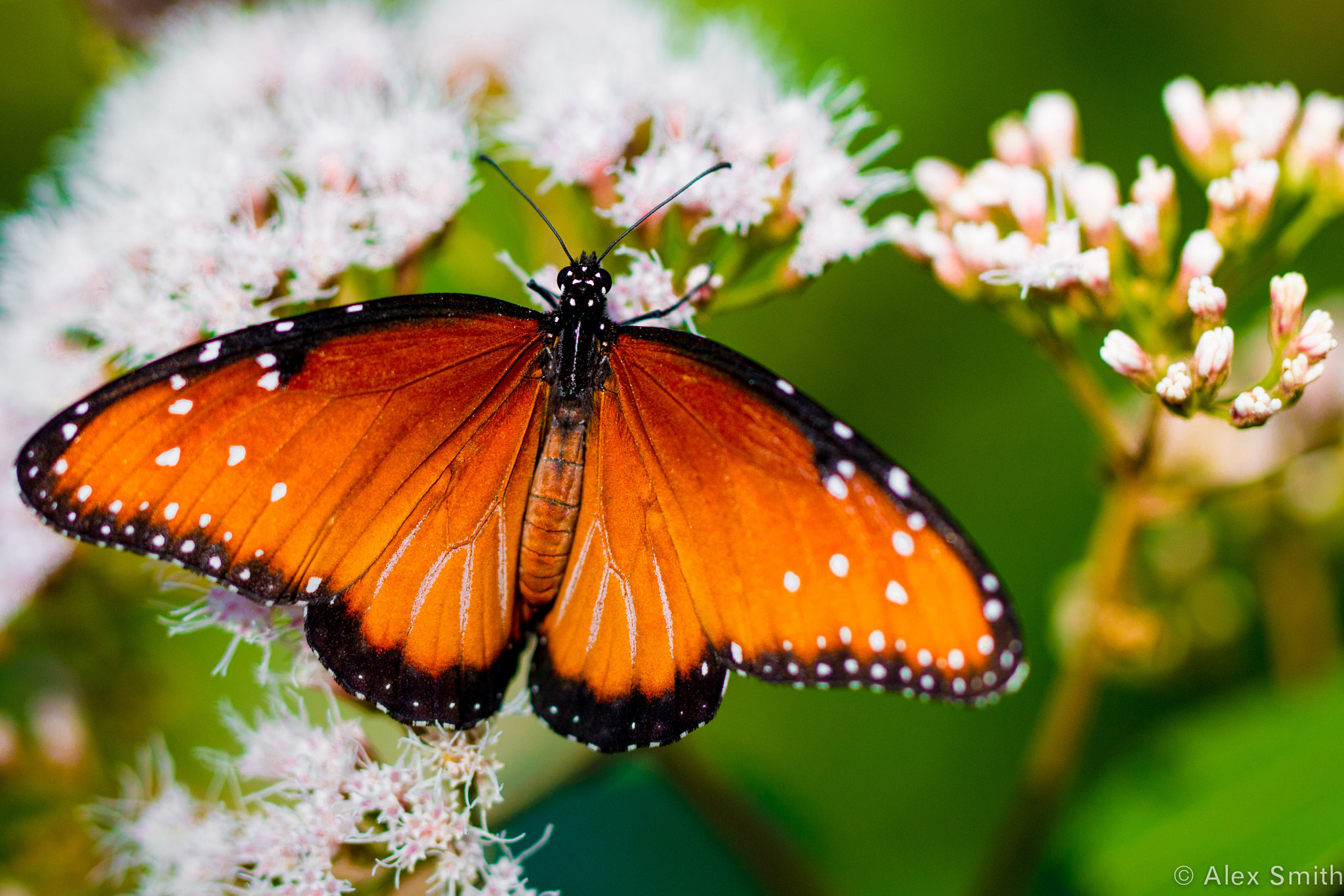 Photograph Princess Butterfly by Alex Smith on 500px