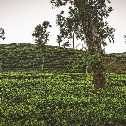 Tea Garden in a, Sony DSC-W650