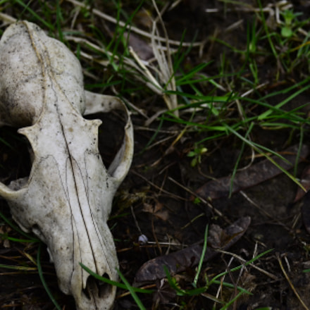 Skull fox, Nikon D5100, Sigma 28-80mm F3.5-5.6 Mini Zoom Macro II Aspherical