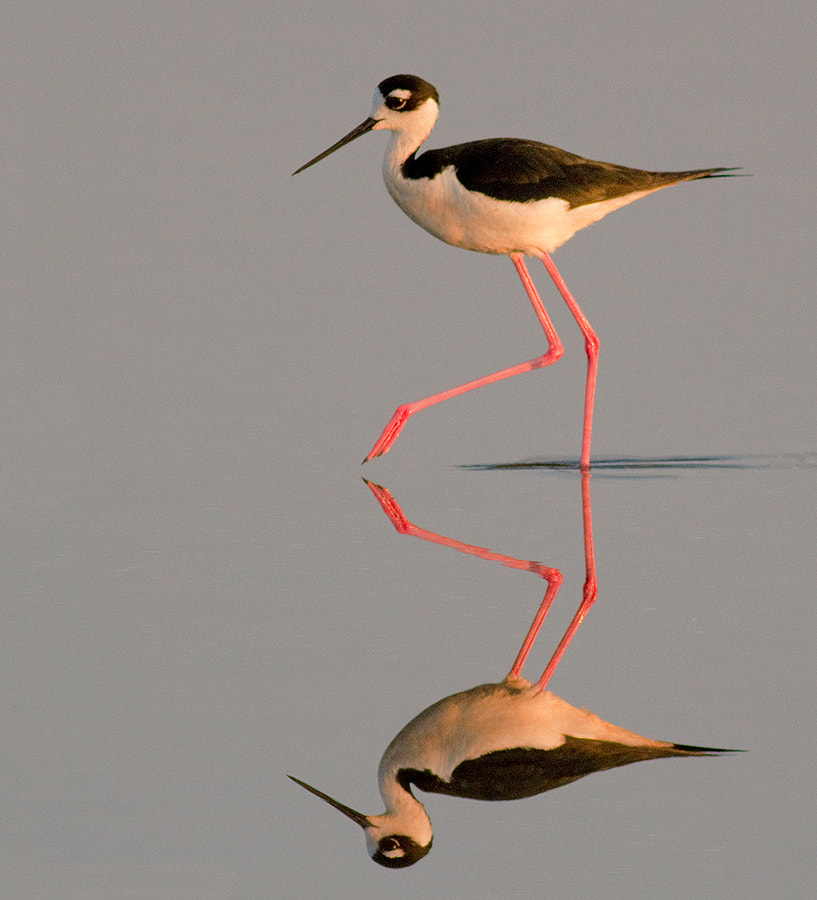 Photograph Black Necked Stilt by Phillip Simmons on 500px