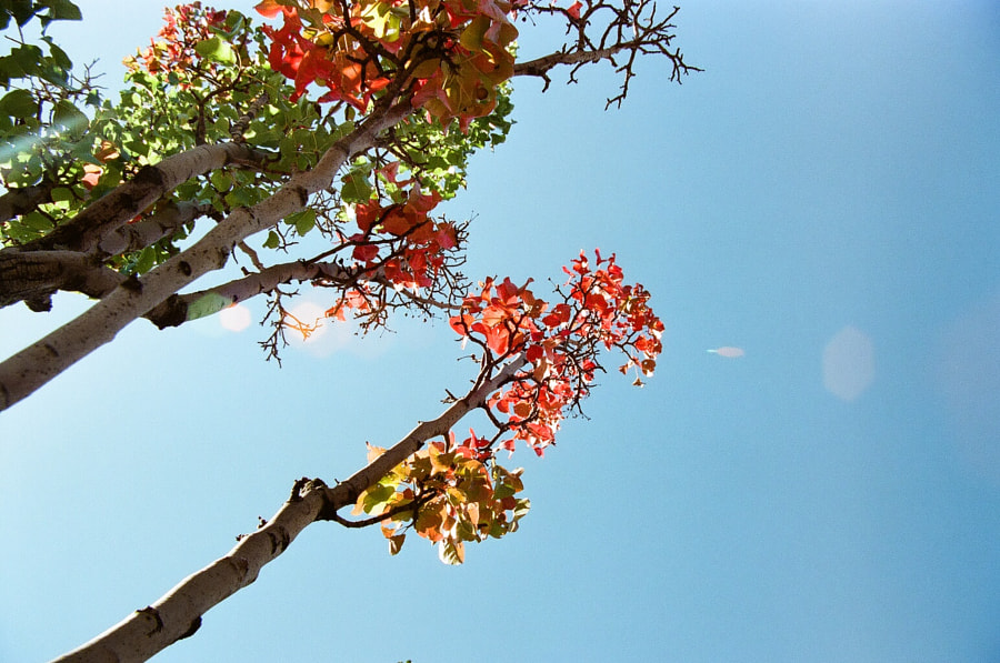 From underneath, white-barked trees with red, green, and yellow leaves. A lens flare crosses the trees into a bright blue sky.