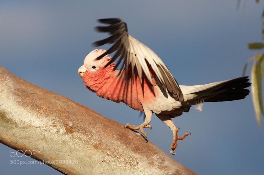 Photo of a Galah taken at Mt Augustus, Western Australia.  Australian Wildlife, Bird, Birds
