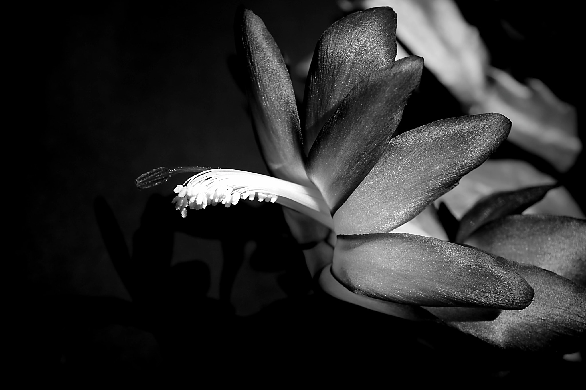 Photograph Christmas Cactus 2012 by Beth Akerman on 500px