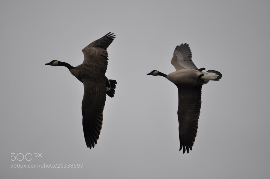 "Timing is everything. Goosey on the right was spotted flying ""upside down."""