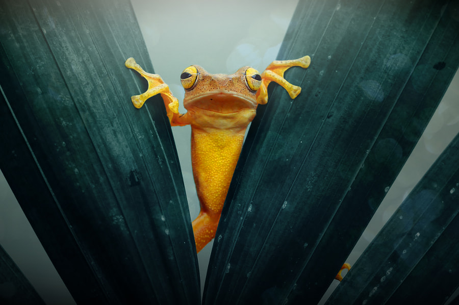 Frog, Gold Frog, Tree Frog, by Andri Priyadi on 500px.com