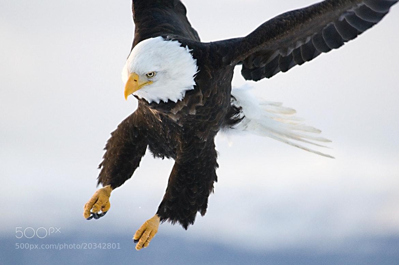 Photograph Eagle in flight by Takashi Nakashima on 500px