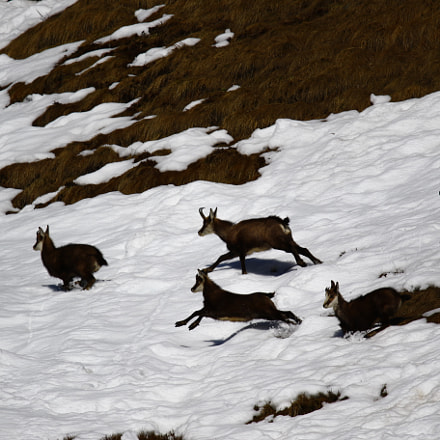 Chamois on the run, Canon EOS 7D MARK II, Sigma 150-600mm f/5-6.3 DG OS HSM | S