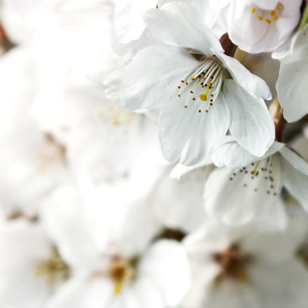 Cherry blossom, Canon EOS 50D, Tamron SP AF 180mm f/3.5 Di Macro