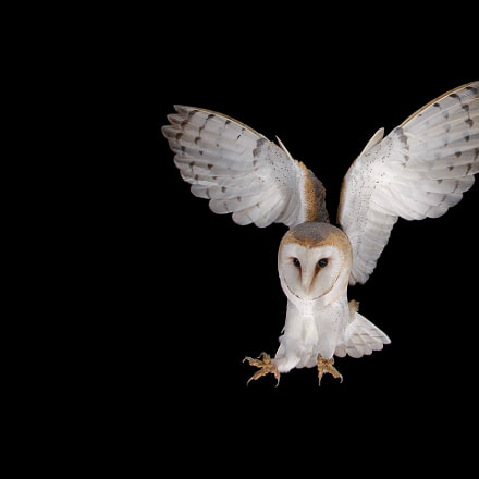 Barnowl, female, Canon EOS-1D X, Canon EF 17-40mm f/4L