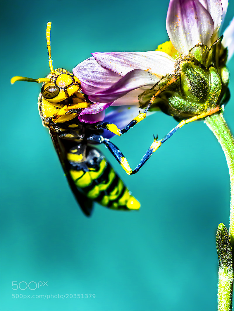 Photograph Hornet by OKAWA โอ๋กะหว้า. somchai on 500px