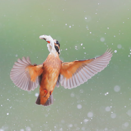 Kingfisher, Canon EOS-1D X, Canon EF 400mm f/2.8L IS II USM