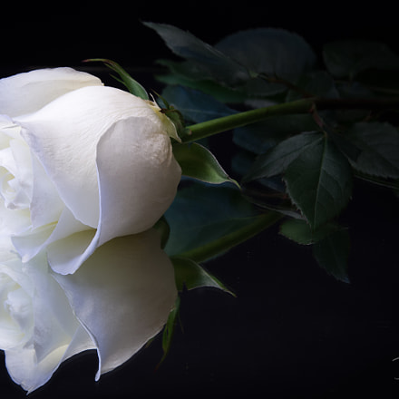 White Rose, Pentax K-5 II S, Tamron SP AF 28-75mm F2.8 XR Di LD Aspherical [IF] Macro