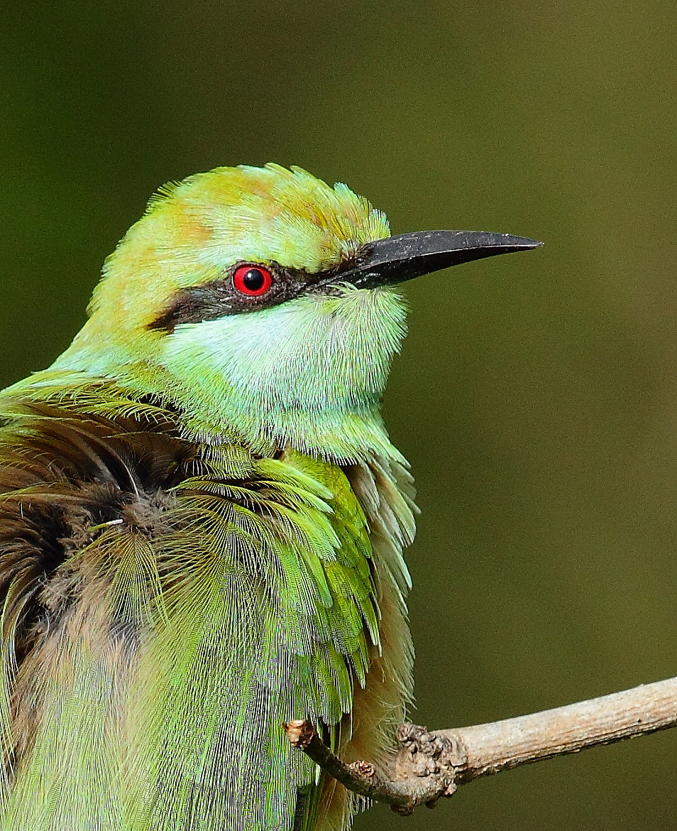 Photograph Green Bee Eater Portrait by Madhusudan  on 500px