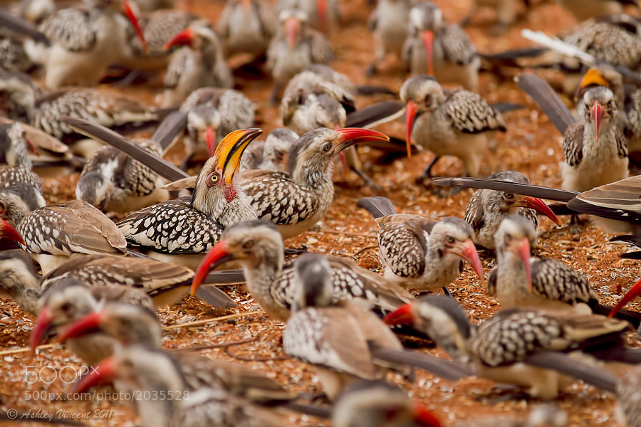 A Southern Yellow-Billed Hornbill and many Red-Billed Hornbills, South Africa