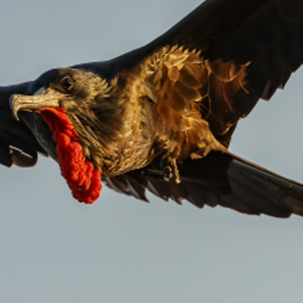 frigate bird, Canon EOS-1D X MARK II, Canon EF 200-400mm f/4L IS USM