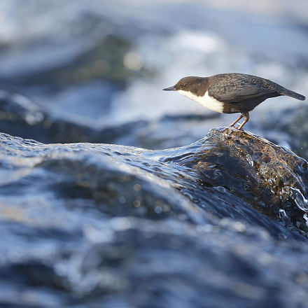 Dipper on rock, Canon EOS-1D X