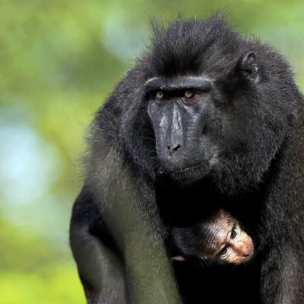 Crested black Macaque, Canon EOS-1D MARK IV, Canon EF 300mm f/2.8L IS II USM