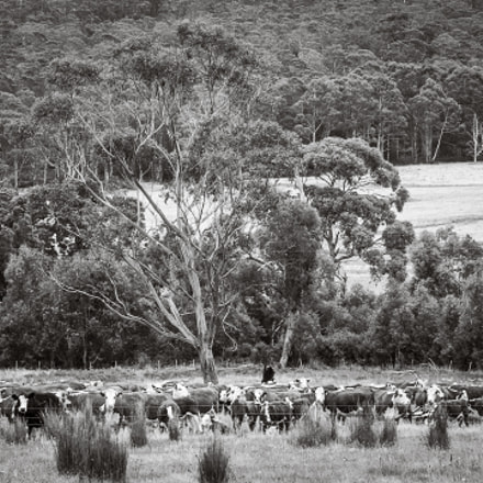 cattle in the bush, Canon EOS D30, Canon EF 28-105mm f/3.5-4.5 USM