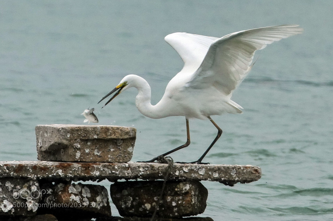Photograph Egret by sgmillionxu2000 on 500px