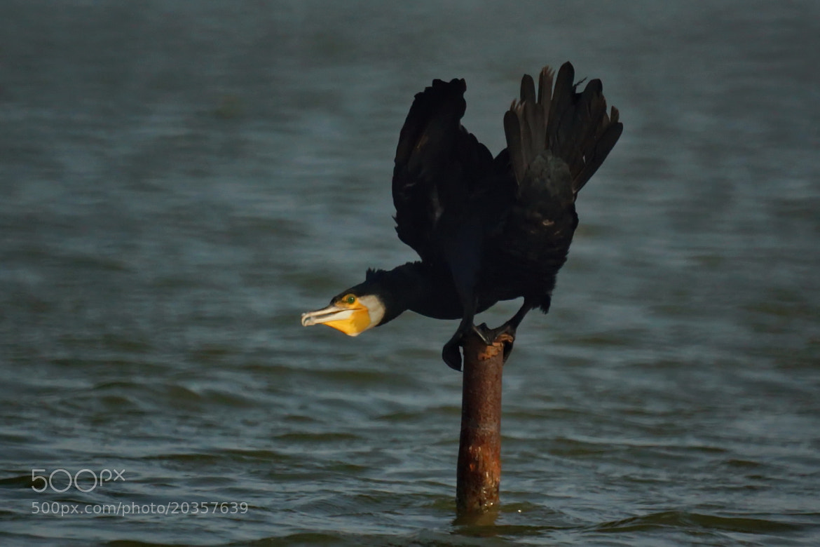 Photograph Pose  (cormorant) by sgmillionxu2000 on 500px