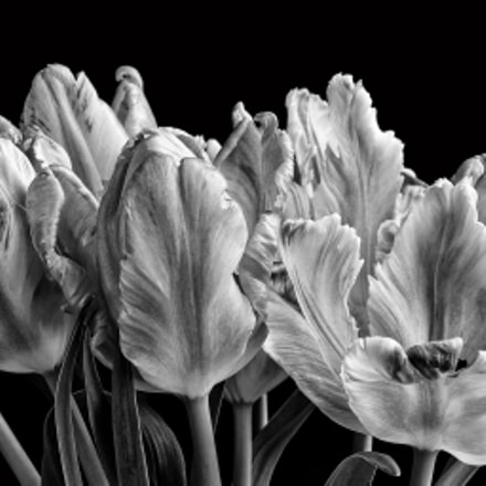 Tulips Kiss Winter Goodbye, RICOH PENTAX K-3, Sigma AF 18-125mm F3.5-5.6 DC