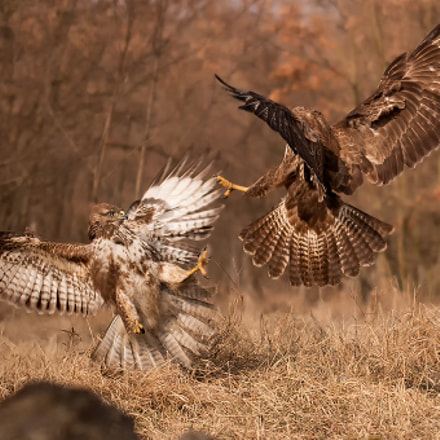Buzzards fighting in the, Canon EOS 70D, Sigma 50-500mm f/4-6.3 APO HSM EX