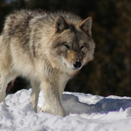 Gray wolf, Canon EOS REBEL T6S, Canon EF 75-300mm f/4-5.6 USM